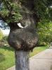 Гладното дърво